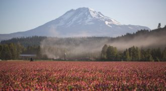 A field of purple echinacea flowers lie in bloom at Nutrilite's Trout Lake Farm in Washington with Mount Ranier looming in the background.