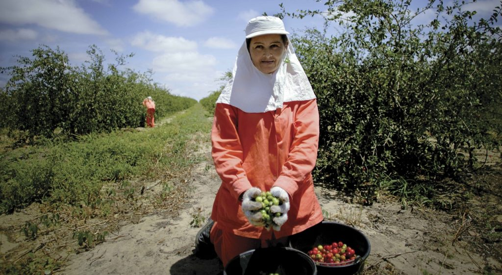 In 1998, Amway opened its largest organic farm, Fazenda Amway Nutrilite do Brasil. Located on more than 3,000 acres in central Brazil, it is one of the largest acerola cherry farms in the world. More than 138,000 acerola cherry trees grow there, producing about 2,000 metric tons of cherries each year. The farm team harvests the cherries while they are still green and unripe, because that is when their vitamin C is at peak levels.