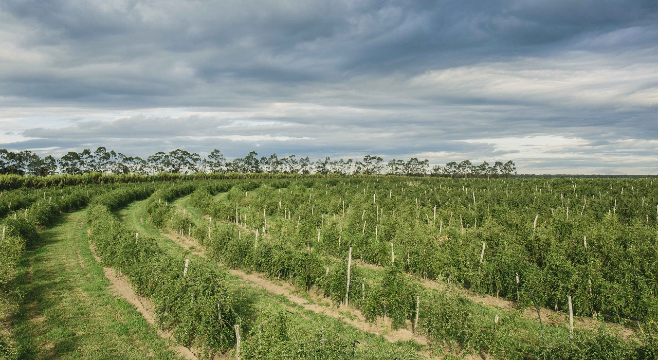 A view of acerola cherry trees on the certified organic farm in Brazil owned by Nutrilite.
